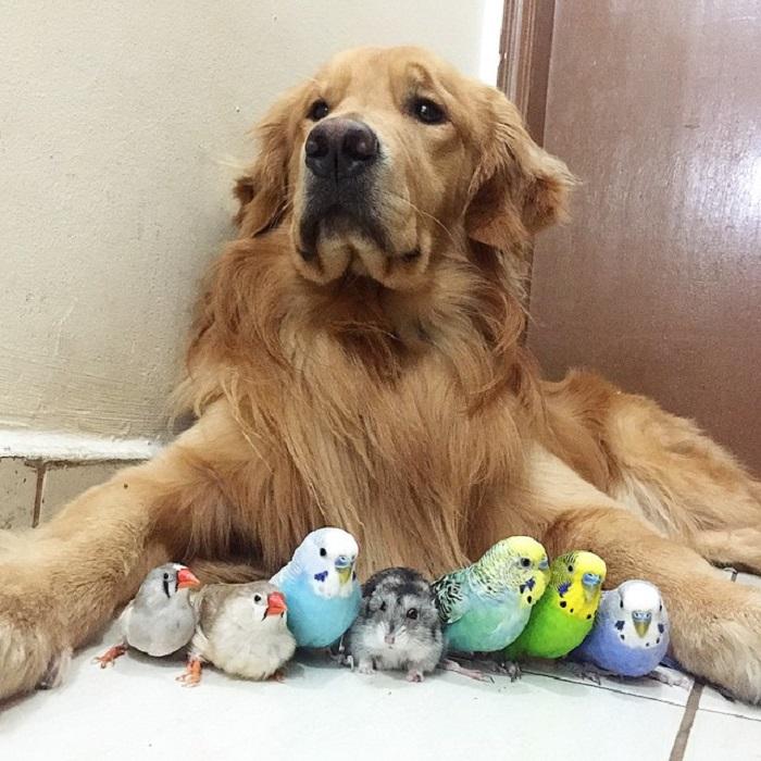Золотой ретривер Боб с друзьями.