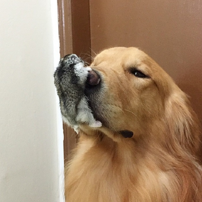 Дружелюбный пес Боб и хомяк.