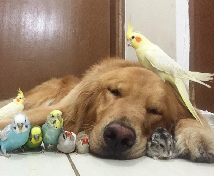 Необычная дружба собаки, хомяка и 8 попугаев.