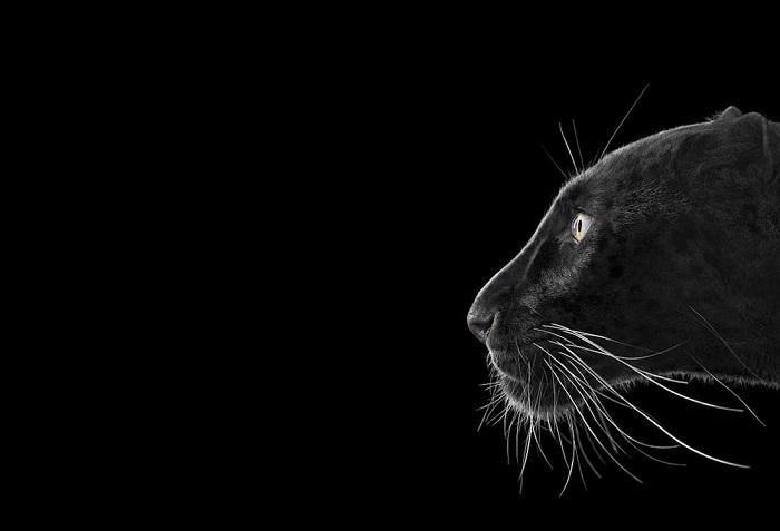 Черный леопард. Место съемки: Монтеррей, Калифорния (2014 год).