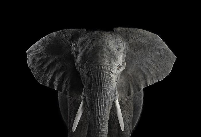 Африканский слон. Место съемки: Лос-Анджелес, Калифорния (2010 год).