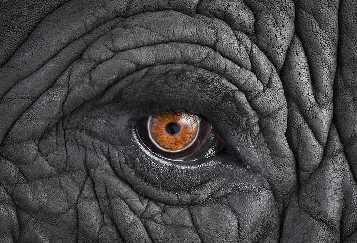 Африканский слон. Место съемки: Лос-Анджелес, Калифорния (2016 год).
