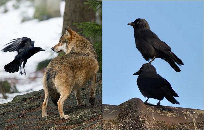 Задиристые, забавные, милые и хитрые вороны, которые появляются в самых неожиданных местах.