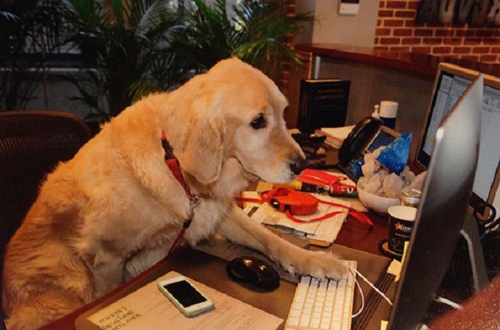 Милые пёсики, которые любят помогать своим хозяевам на работе.