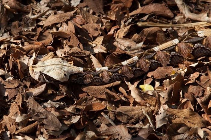 Яркий геометрический рисунок стирает контуры тела змеи и делает ее совершенно незаметной на фоне пестрой растительности и опавшей листвы.