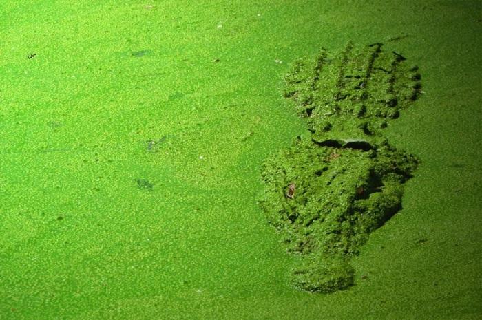Крокодил в реке, заросшей зеленой тиной.
