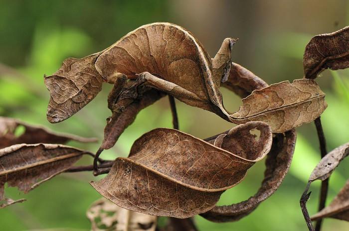 В своей неуклюжей попытке спрятаться от хищников, сатанинский листохвостый геккон с Мадагаскара притворился листом.