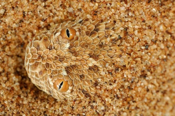 Гадюка Paringuey, обитает в песчаных дюнах пустыни Намиб.