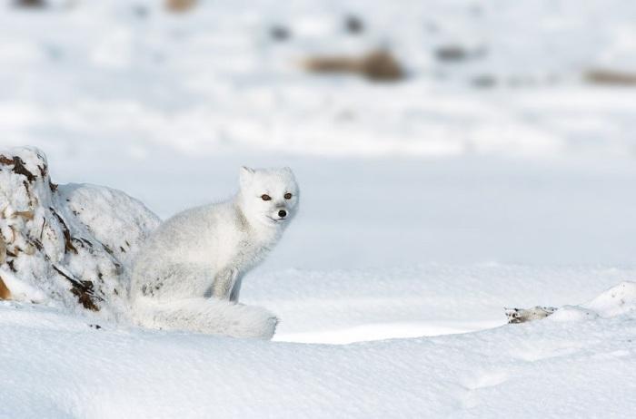 Зимой белый песец приобретает снежно-белый окрас, служащий камуфляжем на обширных снежных равнинах и льдах в арктическом регионе.