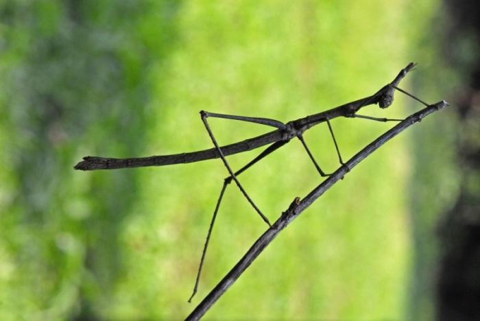 Внешний облик палочников является идеальным природным камуфляжем, благодаря которому их практически невозможно заметить в их естественной среде обитания.