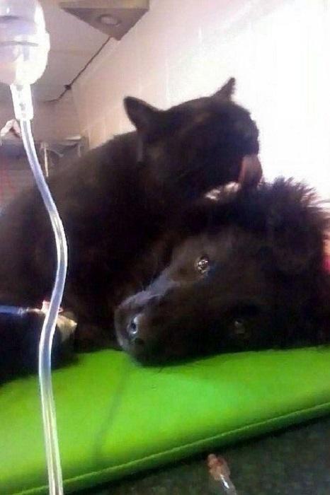 Радеминс вылизывает уши животным, проявляя к ним заботу.