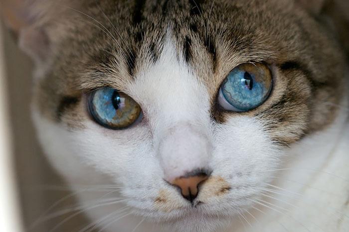 Кот с частичной гетерохромией.