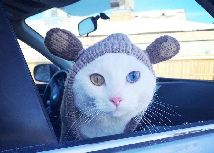 Королевская порода котов с разными глазами.