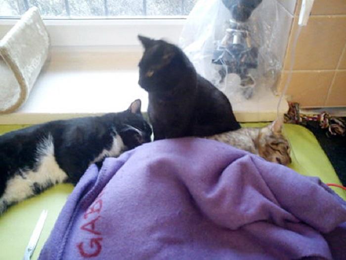 Удивительный кот, который помогает другим животным прийти в себя после операции.