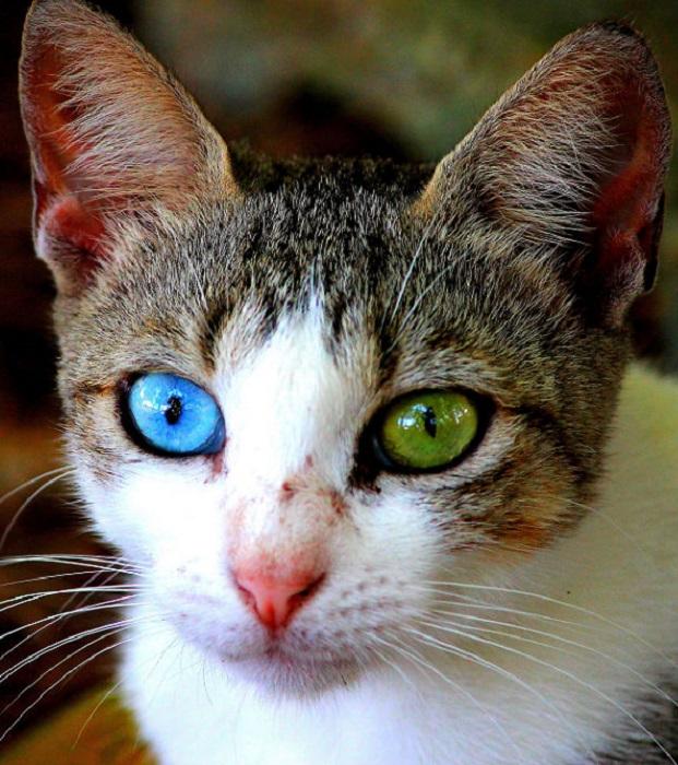Домашняя кошка с гетерохромией глаз.