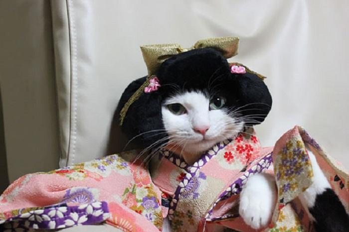 Кошка готова к японскому празднику «Сити-Го-Сан».