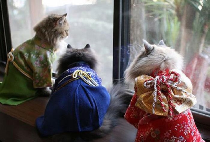 Жители Страны Восходящего Солнца надевают кимоно на себя и своих любимцев лишь по особым случаям.