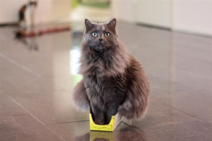 Только кот может вместить тело весом 3,5 кг в картонную коробку размером 3 на 5.