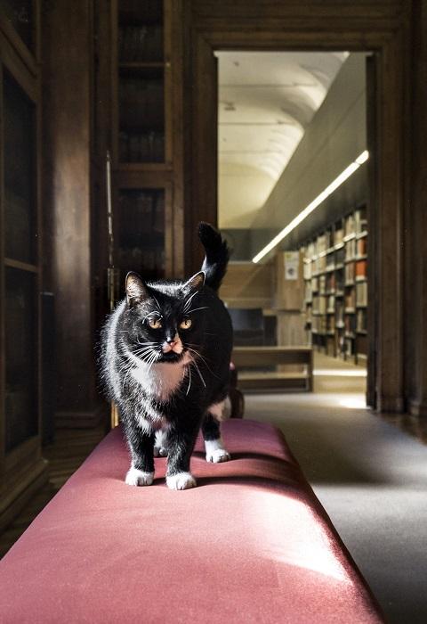 Черный красавец-кот, словно фотомодель, позирует перед камерой фотографа.