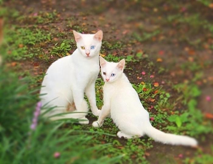 Кошка и котёнок с гетерохромией.