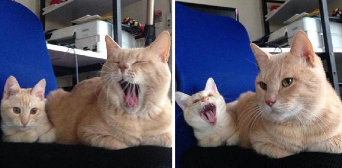 Даже зевают одинаково...