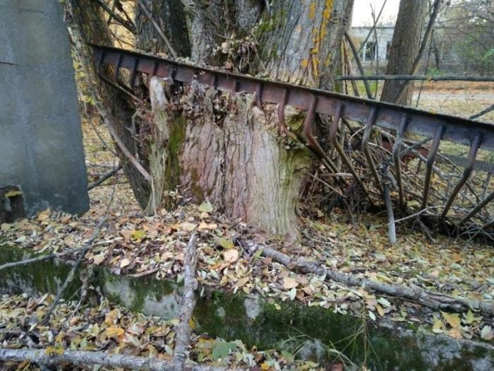 Некоторые деревья растут прямо сквозь заборы, частично срастаясь вокруг металлической решетки.