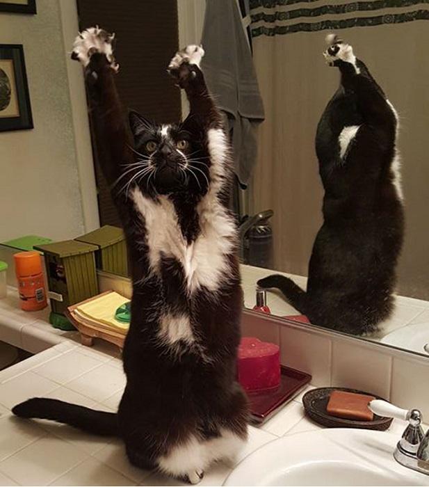 Кот по кличке Кис поднимает лапы вверх каждый раз, когда хозяин Питер Марес из Калифорнии берет фотоаппарат в руки.