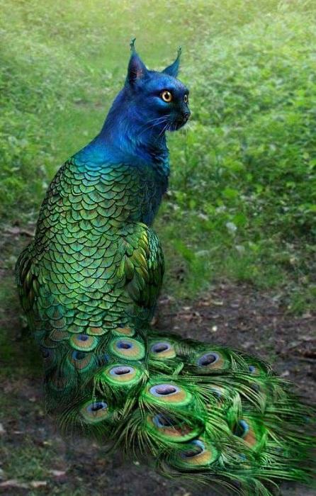 Еще одно удивительное сочетание птицы и кошки, даже жаль, что такой красавец – лишь результат умелого комбинирования изображений в «Photoshop».