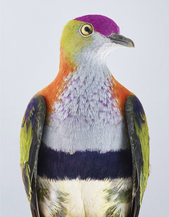 Очень яркая птица с рыжим воротником,  темной полосой на груди и фиолетовой «шапочкой» на голове.