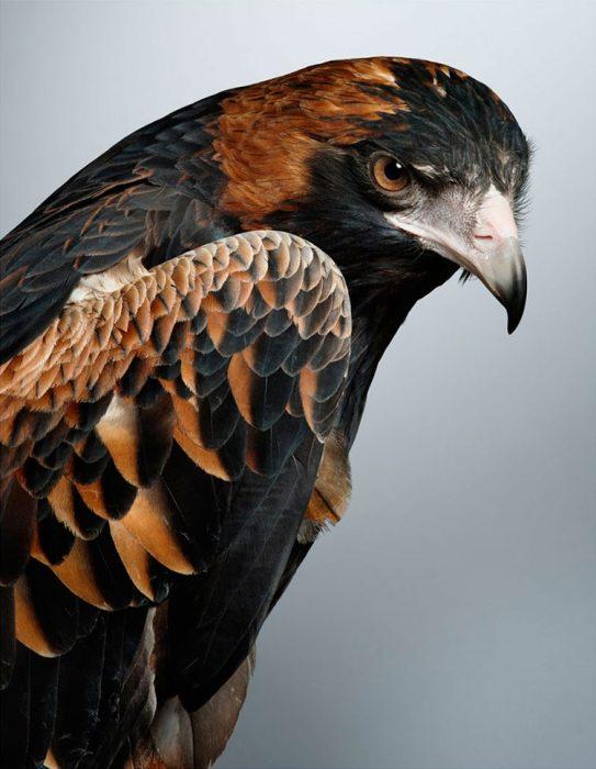 Опасный хищник в элегантном черном оперенье с ярко-рыжими вкраплениями на спине и крыльях.