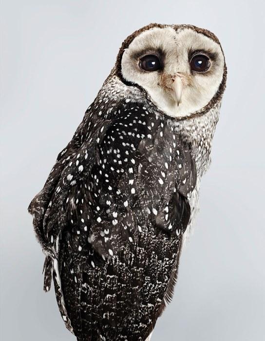 Пепельно-черные или серо-коричневые перья птицы с серебристо-белыми пятнышками резко контрастируют с белым оперением лицевого диска.