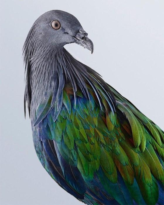 «Наряд» голубя состоит из серо-металлических перьев с голубым или зеленым отливом, которые образуют на шее своеобразную гриву – накидку.
