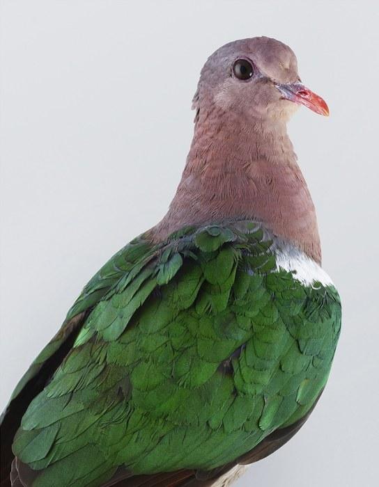 Удивительное сочетание цветов - красного клюва и зеленых крыльев, отливающих бронзой.