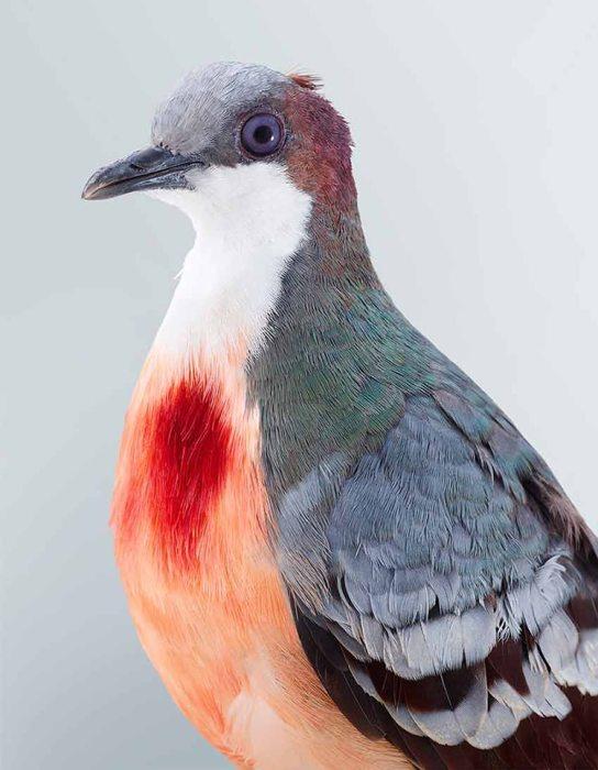 Ярко-красные перья на груди птицы создают впечатление, что голубь смертельно ранен и истекает кровью.