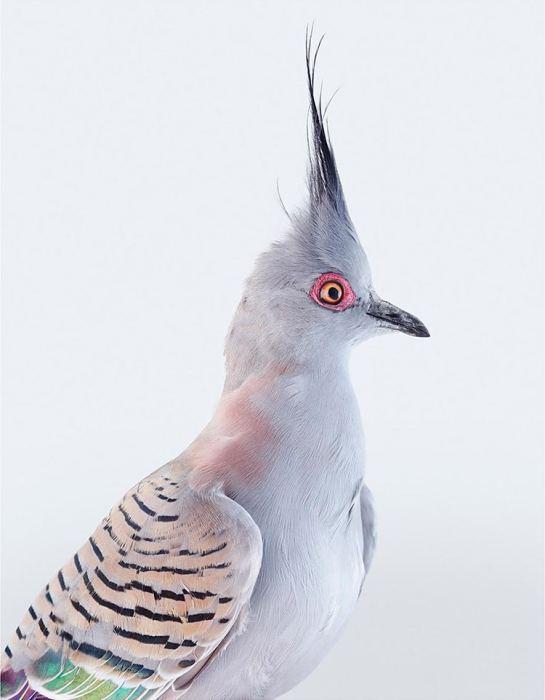 Красивая птица с высоким хохолком из длинных перьев и полосатыми радужными крыльями.