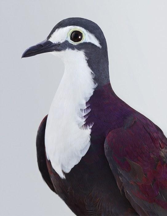 Изящная птица с очень ярким опереньем сине-фиолетового цвета и белоснежным пятном на груди.