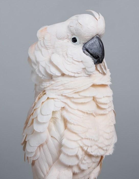 Белоснежный попугай с контрастным черным клювом и бледно-оранжевым оттенком перьев на голове, шее и груди.