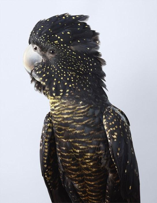 Самка попугая, в отличие от практически полностью черного  самца, имеет множество желтых пятнышек по всему телу и красно-оранжевую полосу на хвосте.
