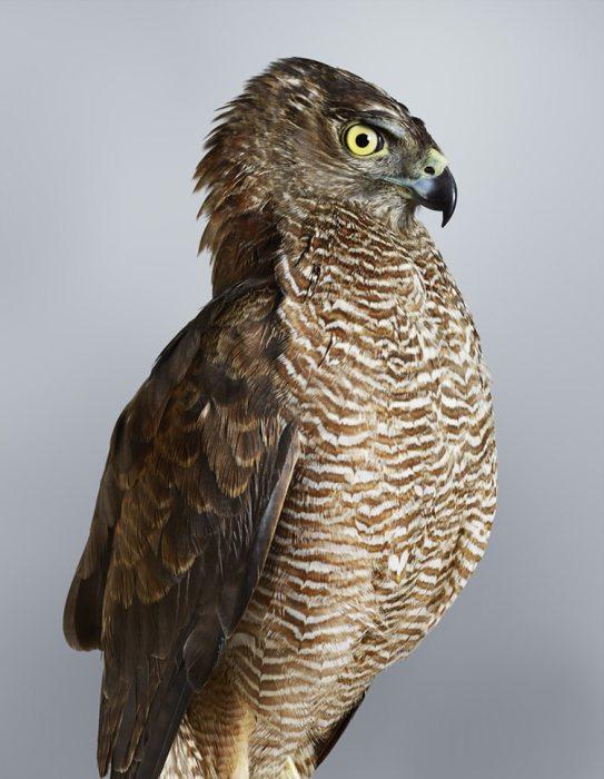 Оперение нижней части птицы состоит из рыжих перьев с белой каемкой по краю, что придает несколько нарядный вид серому хищнику.