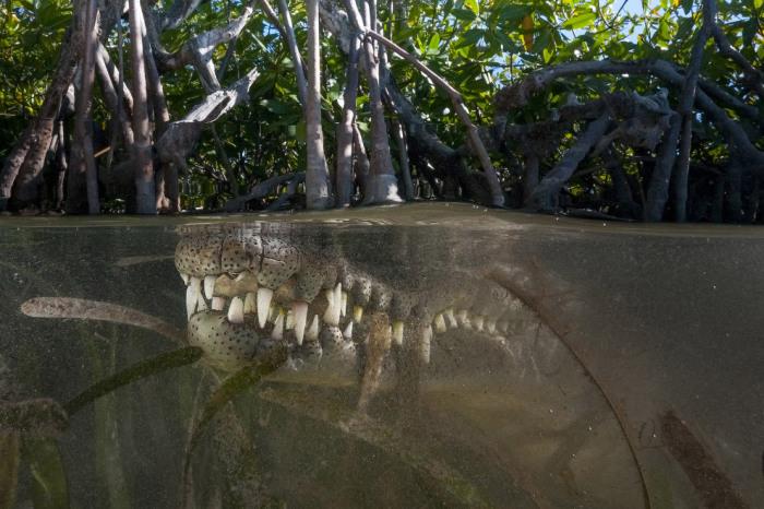 Крокодил в мангровых лесах. Фотограф Мэтью Смит (Matthew Smith).