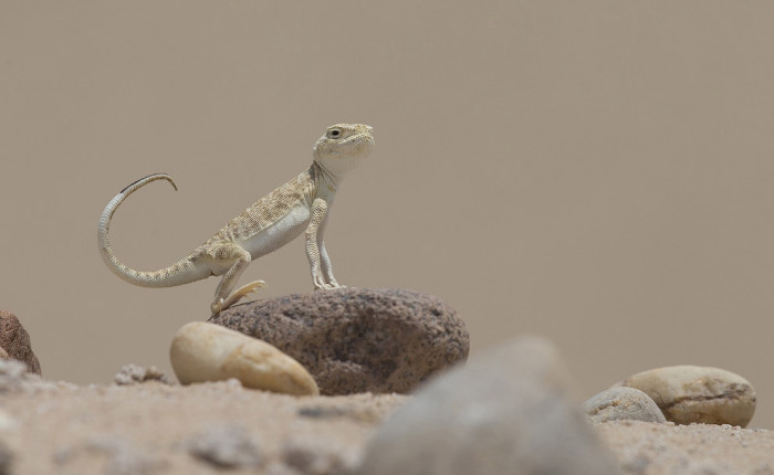 Гордая ящерица–круглоголовка в Кувейте. Фотограф Омар Аль-Шахин (Omar Alshaheen).