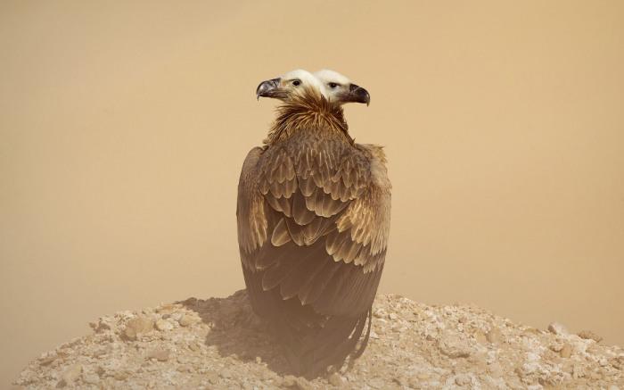 Двуглавый стервятник, Кувейт. Фотограф Мохд Хоршид (Mohd Khorshid).