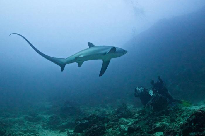 Лисьи акулы охотятся, используя свой длинный хвост, как хлыст. Они сбивают косяк рыб плотнее и оглушают им добычу. Фотограф Ноэль Гевара (Noel Guevara).