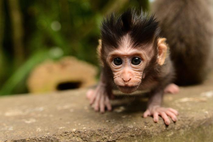 Любопытный новорождённый макак на Бали. Фотограф Мэтью даглас (Matthew Douglas).