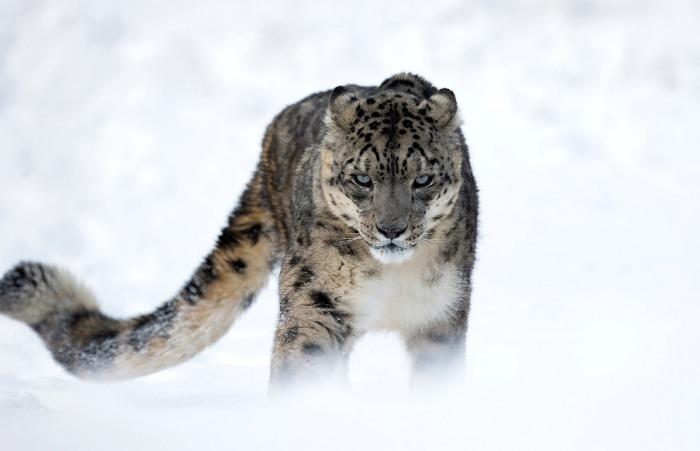 Красавец снежный барс. Фотограф Мишель Zoghzoghi.
