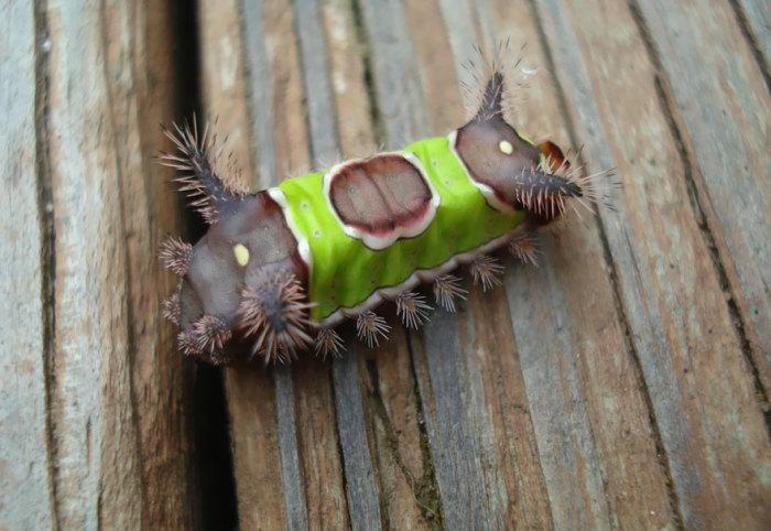 Гусеницы имеют цвет зелено-бело-коричневый, а разрисованы так, что кажется на них одели седло и попону или покрывало. Гусеницы имеют пару мясистых рогов, которые венчают волоски, выделяющие раздражающий яд.