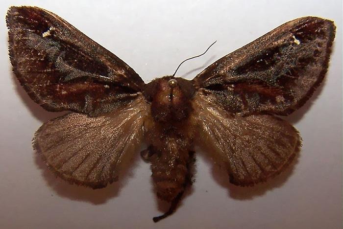 Бабочка семейства слизневидок.