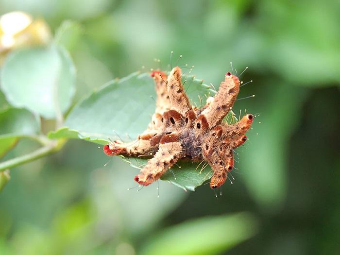 Гусеница «моль-ведьма», которую также называют «обезьяной-слизнем» часто обитает во фруктовых садах.