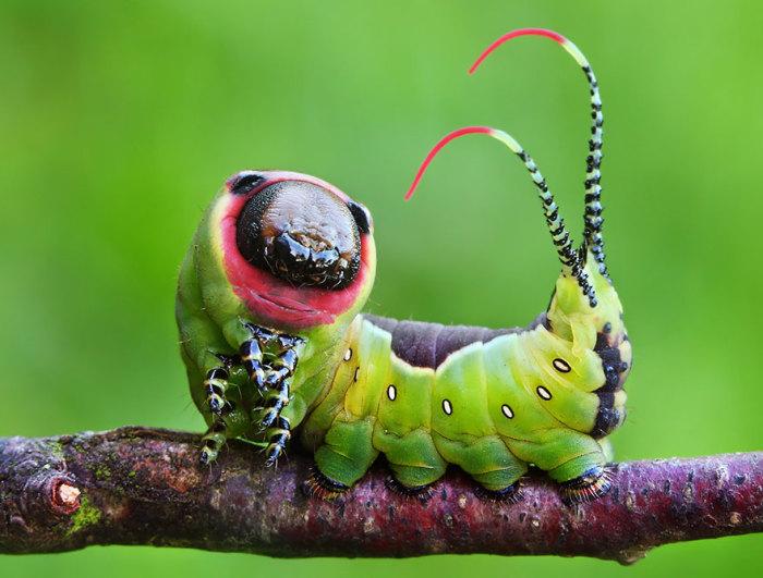 Гусеница на спине с большим фиолетовым пятном в форме ромба, которое по краям окантовано белой полосой. На конце тела гусеницы большой вилкообразный вырост.