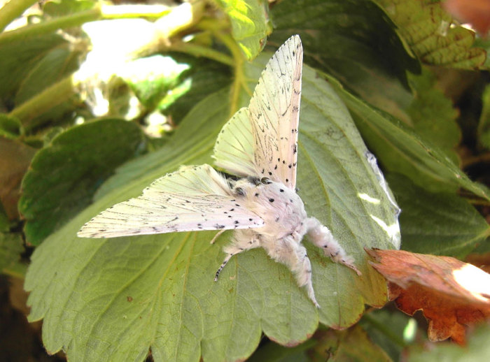 Ночная бабочка семейства Хохлатки.